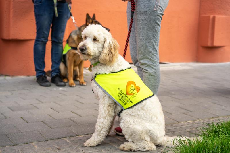 Tequila sedí na chodníku, na sobě má žlutou vestu psa ve výcviku
