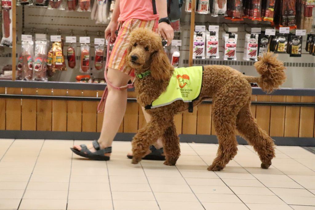 Vodicí pes Ike s paničkou v obchodě, má reflexní vestu, prochází kolem regálu s uzeninami