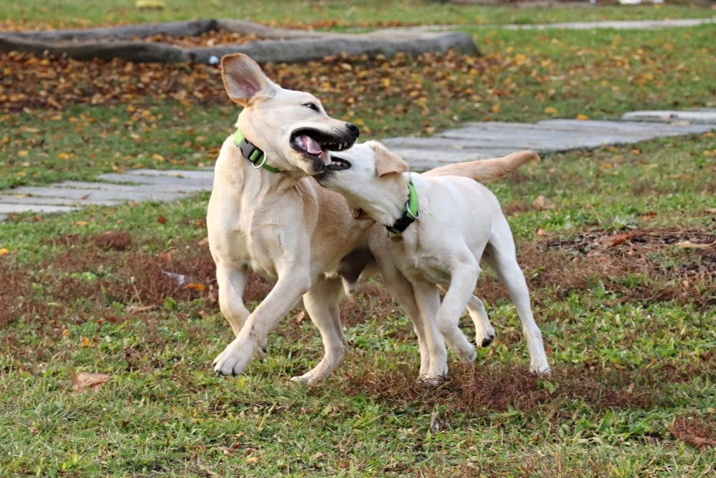 Dvě štěňata utíkají po trávníku. Jedno z nich kouše to druhé do krku, druhé štěně se snaží bránit.